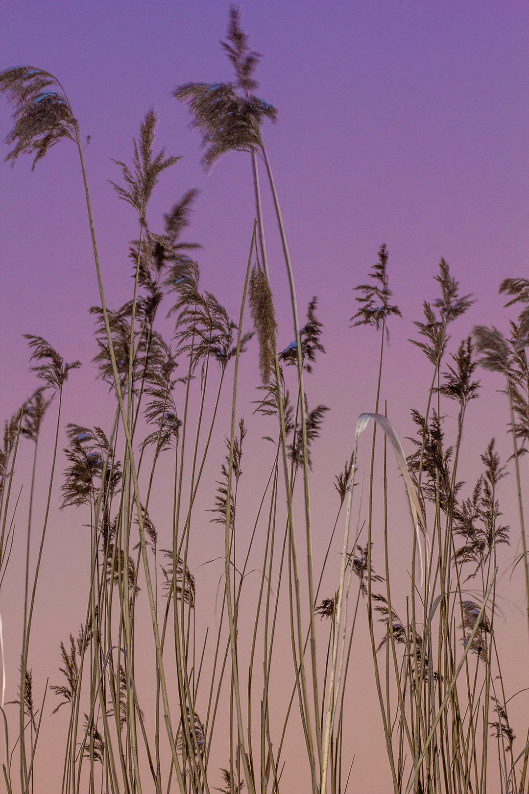Reeds at dusk lit by flash in Vienna by Ken Marten