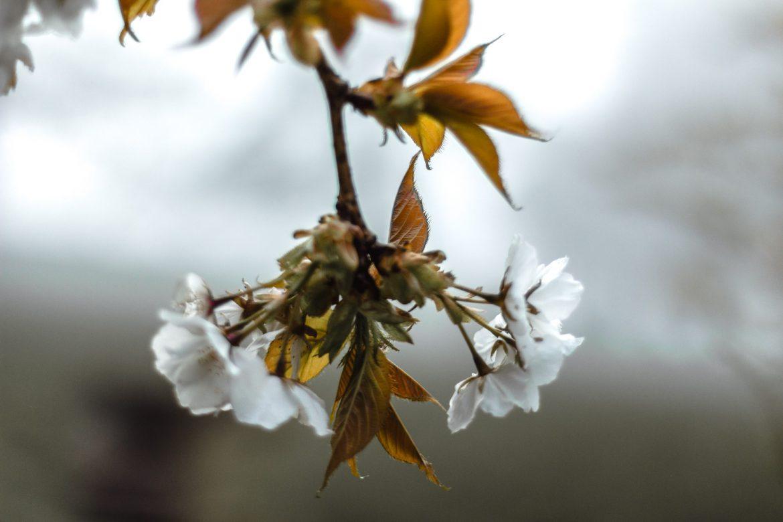 Cherry blossom at Margam Country Park, Port Talbot