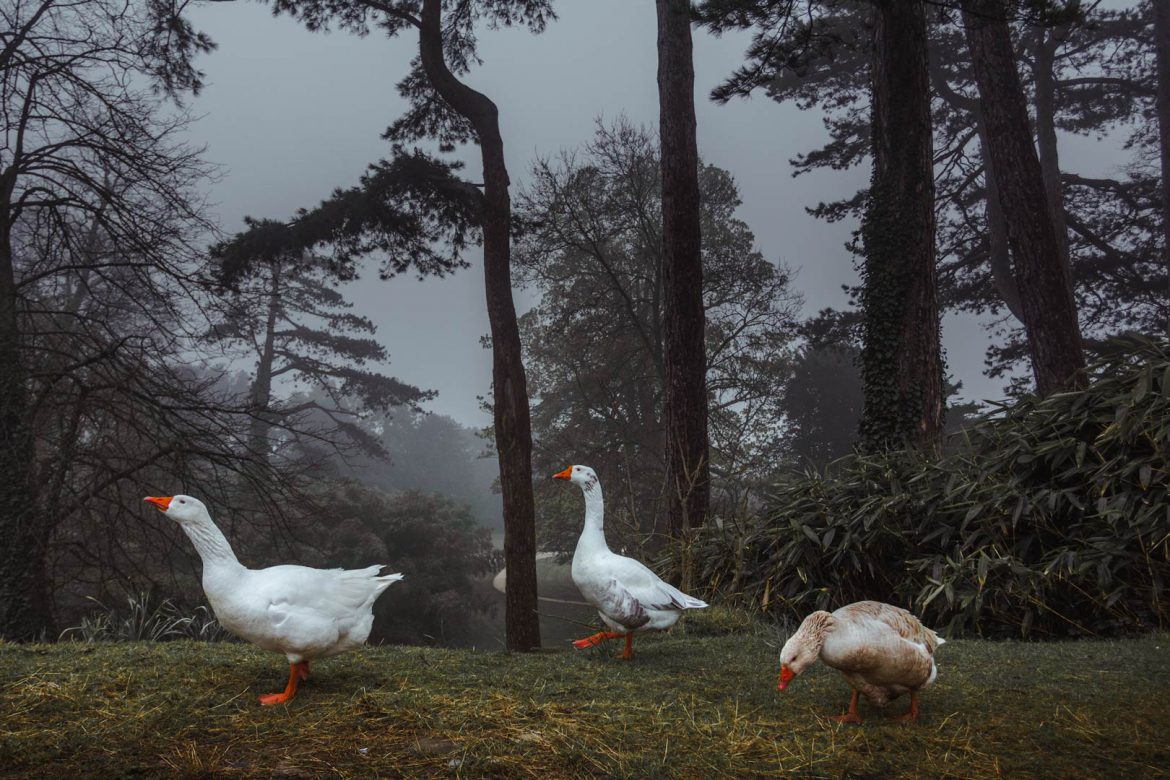 Geese in Margam Country Park, misty morning, Port Talbot, south wales